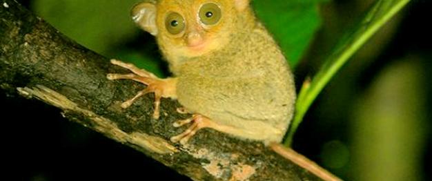Tarsius Tumpara, Endemik Pulau Siau