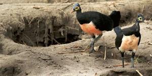burung maleo sulawesi