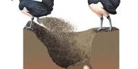 cara menetaskan telur burung maleo