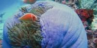clown fish taman nasional bunaken